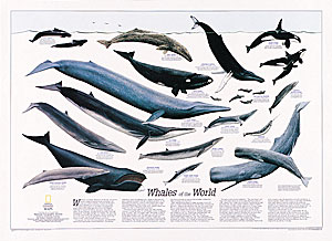 World Whales WALL Map.